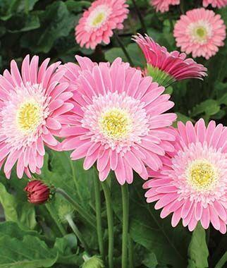 Gerbera Garvinea Sweet Memories Burpee In 2020 Gerbera Gerbera Daisy Pink Gerbera