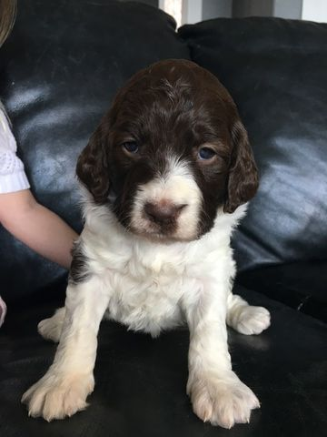 Springerdoodle Puppy For Sale In Woodland Wa Adn 70704 On