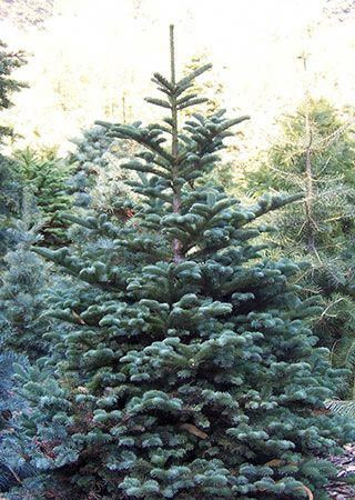 Noble Fir Santa S Tree Farm Half Moon Bay Types Of Christmas Trees Tree Farms Christmas Tree Farm