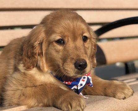 Golden Retriever Puppy For Sale In Lakeland Fl Adn 62080 On Puppyfinder Com Gender Male Age 11 Wee Golden Retriever Retriever Puppy Golden Retriever Puppy