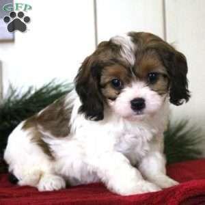 Hope Cavachon Puppy For Sale In Pennsylvania Animals Animals Cavachon Hope Pennsylvania Puppy Sale Cavachon Puppies Cavachon Puppies For Sale