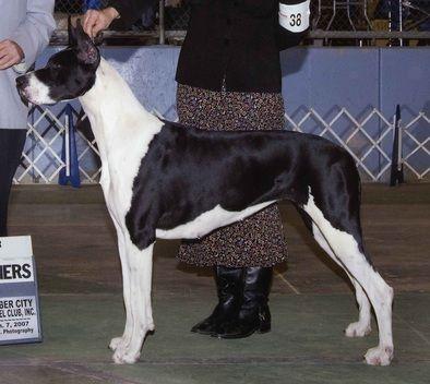 Color Of The Breed Ellenni Danes Great Dane Great Dane Dogs