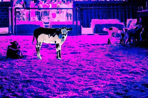 Moo Crew Color Farm Animals Cow Barn California Nature
