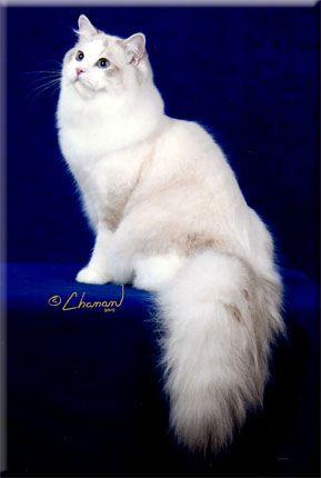 Michigan Ragdoll Cat Breeder Supurr Ragdolls Mi Kittens Ragdoll Cat Breeders Ragdoll Cat Cat Breeder