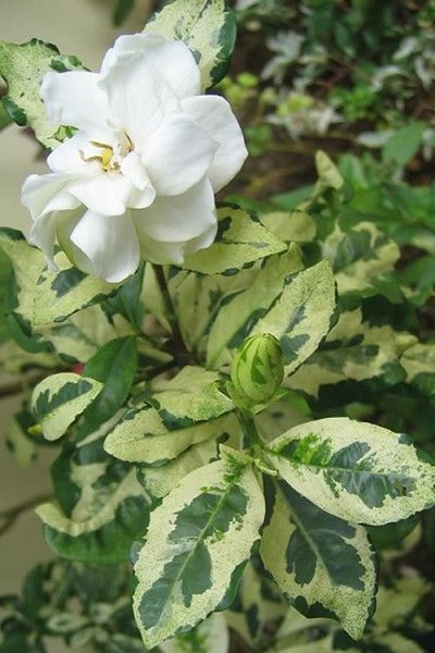 Variegated Gardenia Plant Sale August Beauty Gardenia Dwarf Gardenia