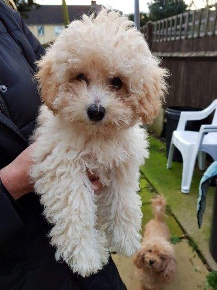 Poochon Babies Poochon Puppies Poochon Dog Bichon Poodle Mix