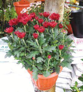 Gambar Hiasan Bunga Indah Tanaman Hias Bunga Cybertokoh Com Jenis Tanaman Hias Berbunga Indah Tips Merawat Tanaman Ok Bun Bunga Gambar Hiasan Mawar Cantik