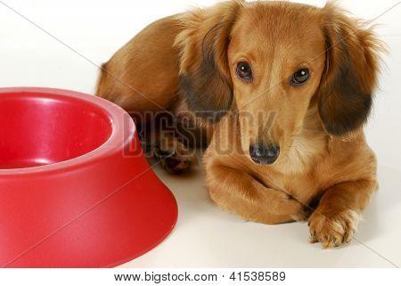 Dog Waiting To Be Fed Long Haired Miniature Dachshund Sleeping