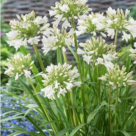 Agapanthus Uberwintern Die Besten Tipps Blumen Stauden Garten Schmucklilie