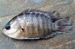 Pristolepis fasciatus