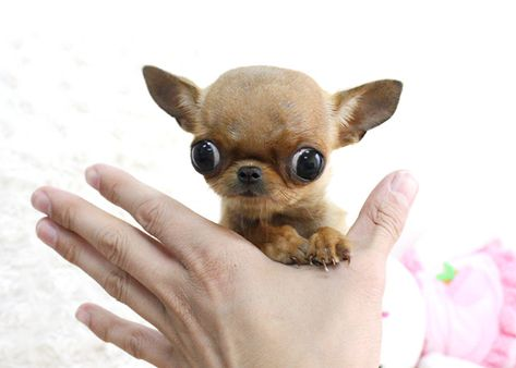 Chihuahua Micro Teacup Puppy