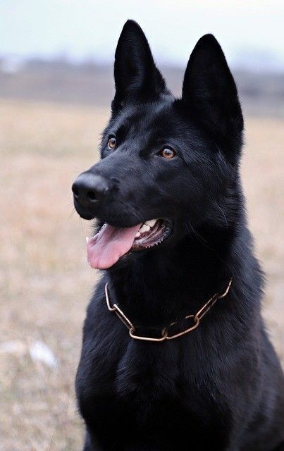Wicked Training Your German Shepherd Dog Ideas. Mind Blowing Training Your German Shepherd Dog Ideas. Black German Shepherd Puppies, Black Shepherd, German Shepherd Names, Black German Shepherd Dog, Cute Dogs Breeds, Dog Breeds, Scooby Dog, American Staffordshire Terrier, Working Dogs