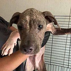 New York Ny Labrador Retriever Meet Justin A Dog For Adoption