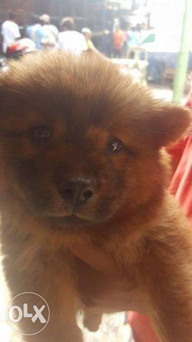 Chow Chow Purebreed Lion And Bear Type 52 In Manila Metro Manila
