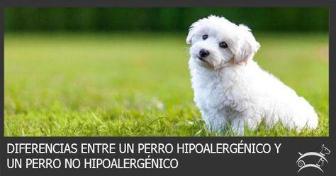 Descubre aquí las diferencias que existen entre un perro hipoalergénico y un perro no hipoalergénico. Ingresa Aquí >>> http://sobreperrosygatos.com/diferencias-hipoalergenico-y-no-hipoalergenico/