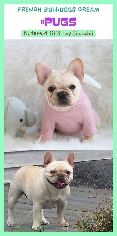 Rocky Mini Blue French Bulldog Puppy Available 1 888 743 0325