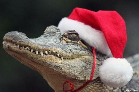 Funny Quotes About Alligators. QuotesGram | ugly xmas party ...