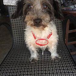 Pet Card With Images York Terrier Dog Adoption Pet Adoption