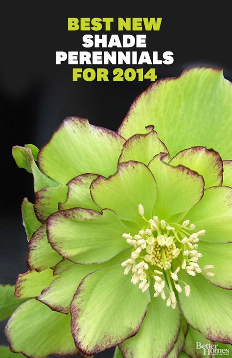 Electrify the darkest corners of your landscape with shade-loving perennial flowers. Here are some of our top picks for 2014.