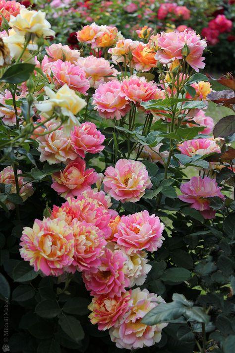 'Rose des Cisterciens' | Shrub Rose. Delbard 1998 | Flickr - @ Mikhail Ursus