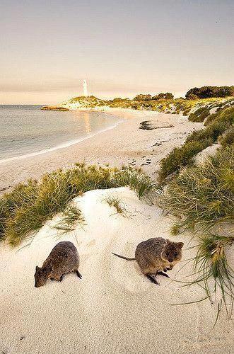 Quokka Lighthouse Rottnest Island Off Perth Western Australia Check Westernaustraliatr Western Australia Travel Perth Western Australia Western Australia