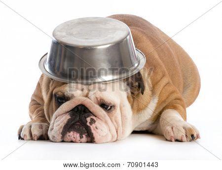 Hungry Dog English Bulldog Laying Down With Dog Bowl On Head On