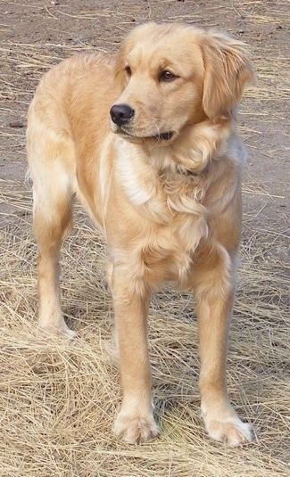 Front View A Miniature Golden Retriever Is Standing In Straw And