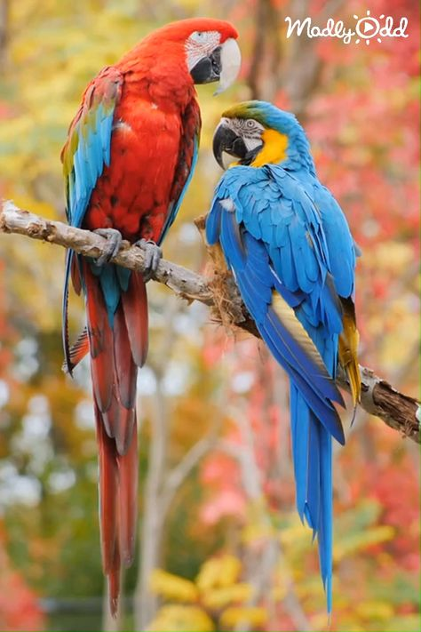 Beautiful parrots, truly breathtaking to behold their radient colors. #parrots #birds #parrot #bird #animals #animal #wildlife #pets #jungle #amazon #cockatiel #cockatoo #video #madlyodd