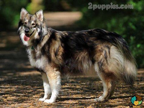Dog Breeds Which Start With The Letter U Utonagan Dog Dog Breeds Large Dog Breeds