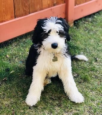 Bordoodle Mountain Rose Bordoodles In 2020 Bordoodle Puppies New Puppy