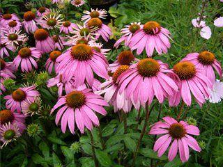 We Love Coneflowers Here Is Info On How To Grow Them Tall Perennial Flowers Flowers Perennials Flower Garden Design