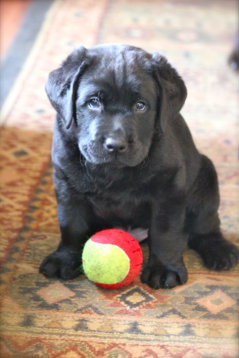 Pin On Our Labradors