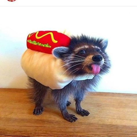 I wish I had a raccoon that I could put a hot dog suit on.but then it'd just die so maybe not. Cute Dog Costumes, Pet Halloween Costumes, Cute Rats, Cute Funny Animals, Animals And Pets, Baby Animals, Pet Raccoon, Tier Fotos, Spirit Animal