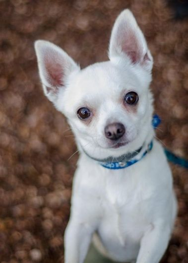 Can You Give Princess A Home Month Animals Chihuahua Pet Advice