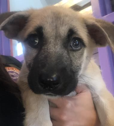 Animal Id 39423955 Species Dog Breed German Shepherd Mix Age 2