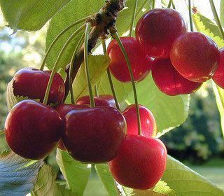 Cherry Picking Service Special Requests For Agate Slices And Pendants Only How To Grow Cherries Growing Cherry Trees Growing Fruit Trees