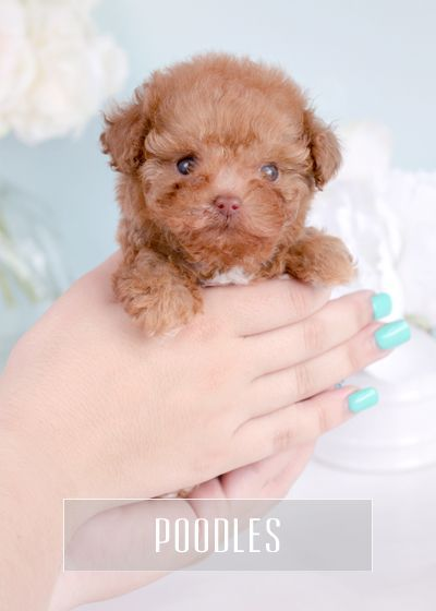 Teacup Poodles Teacup Puppies For Sale Florida Toy Poodles Toy Poodles Yorkie Standard Poodles Poodle G In 2020 Teacup Puppies Teacup Puppies For Sale Puppies For Sale