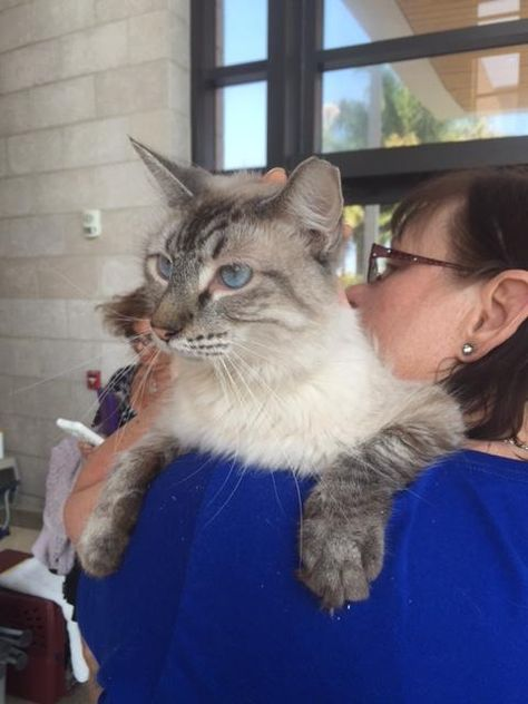 Meet Star A Petfinder Adoptable Himalayan Cat West Palm Beach Fl You Can Fill Out An Adoption Application Online On Our Official Website I Himalayan Cat Cats West Palm