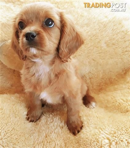 Golden Cavoodle Girl In 2020 Dogs And Puppies Puppies Dogs