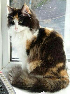Pin By Mod Vintage Life Nita Stacy On Cats Norwegian Forest Cat Forest Cat Beautiful Cats