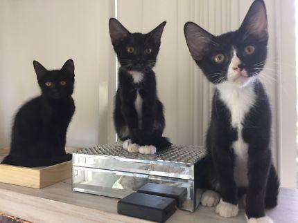 Hera Rescue Kitten Cats Kittens Gumtree Australia Brisbane South West Indooroopilly 1174639143 Cats Kittens Kitten Rescue Kittens