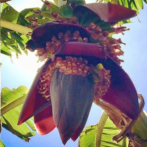 fiori Banana flower in the garden,...
