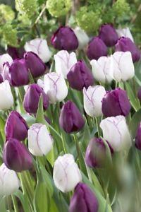 0f609cc28bd399a25c9dbd099cd0157b - Tulip Top Gardens 2019 Tulip Top Gardens 5 October