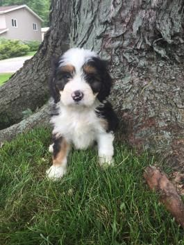 Mini Bernedoodle Puppies For Sale Lancaster Puppies Bernedoodle Puppy Bernedoodle Mini Bernedoodle