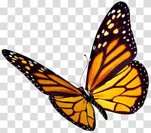 Monarch Butterfly Insect Watercolor Butterfly Transparent Background Png Clipart Monarch Butterfly Butterfly Watercolor Butterfly Black And White