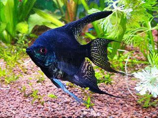 Black Lace Angelfish Di 2020 Ikan Gambar Jenis