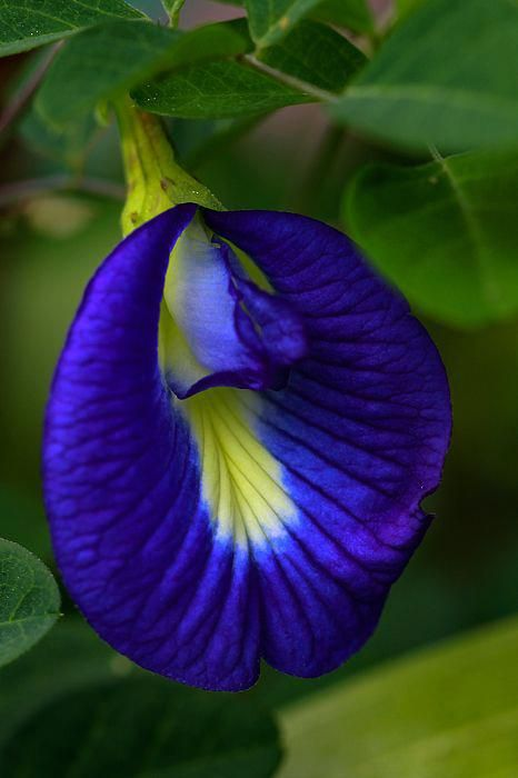 Clitoria Ternatea Common Names Including Butterfly Pea Blue Pea Cordofan Pea And Asian Pigeonwings Is A Plan Strange Flowers Beautiful Flowers Rare Flowers
