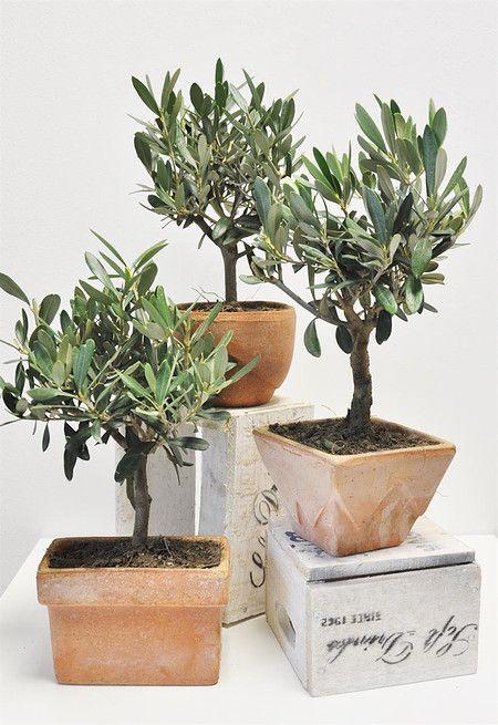 Olivenbaum Im Terrakotta Topf 3er Set Olea Europaea Pflanzen Mediterrane Pflanzen Olivenbaum