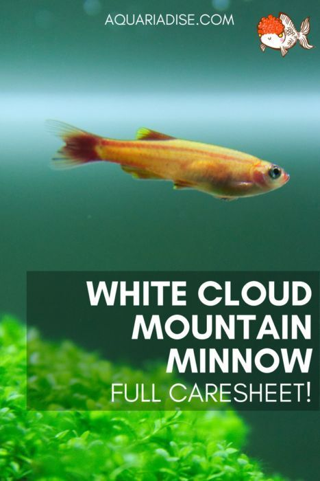Caresheet White Cloud Mountain Minnow Tanichthys Albonubes Fresh Water Fish Tank White Cloud Minnow Fish Care