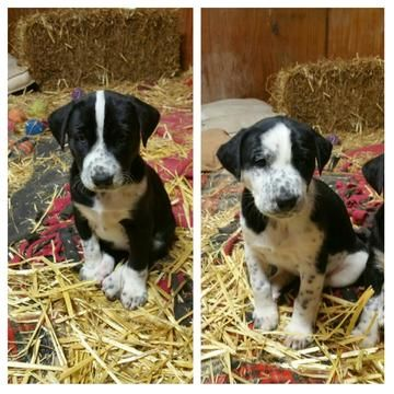 Dalmatian Siberian Husky Mix Puppy For Sale In Boyers Pa Adn